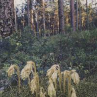 Koskelainen 1995