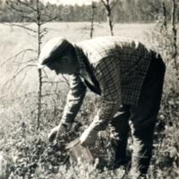 Pentti Haanpää hillasuolla