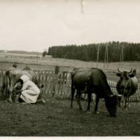 Greijulan talon lehmät